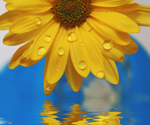 water droplet dripping from yellow flower petals into water