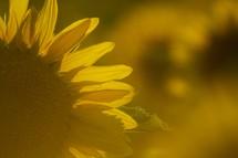 sunflowers and sun glare