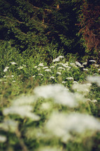 white wildflowers and pine trees