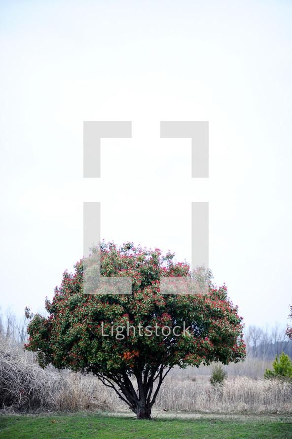 Apple tree in open field