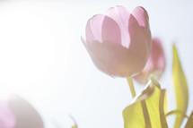 white tulips under intense sunlight