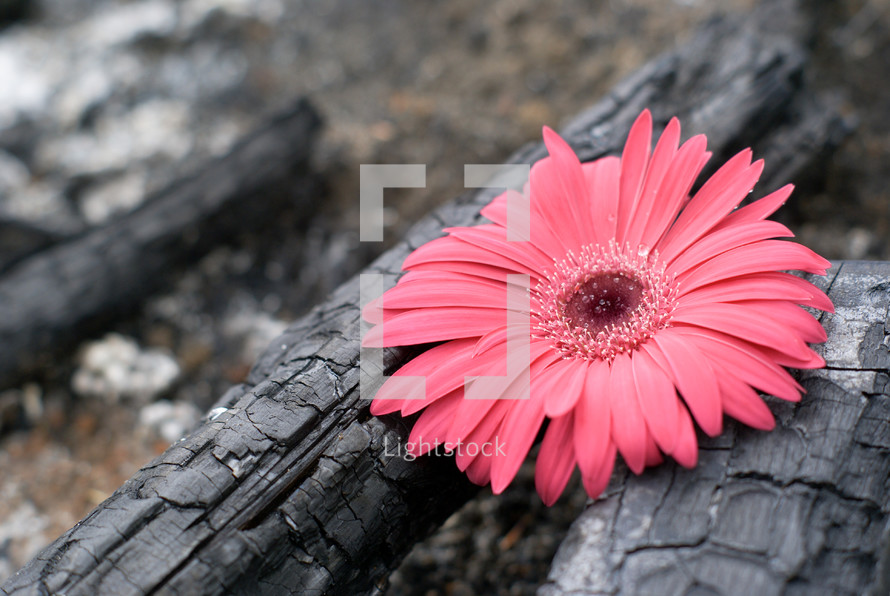 pink flower on burnt wood - contrast