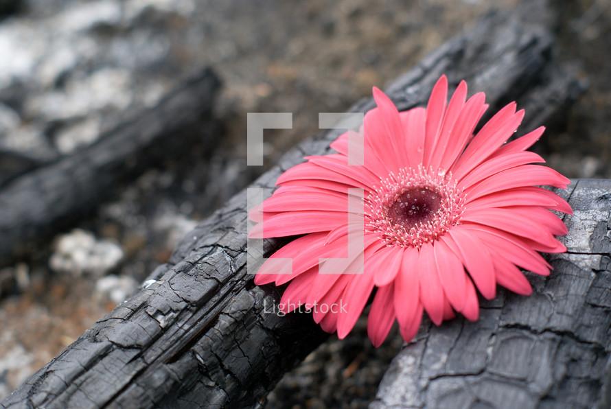 pink flower on burnt wood - contrast
