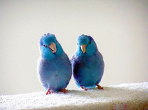 A couple of Blue Pacific Parrotlet Birds enjoying some friendship and companionship together against a white background.