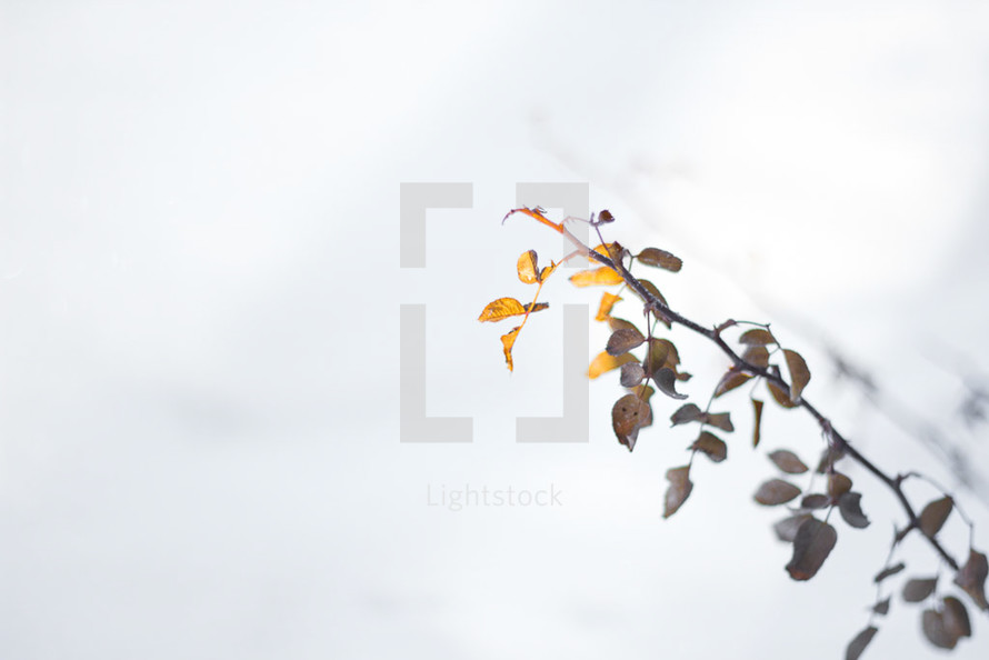Yellow and brown leaves on a twig in the snow
