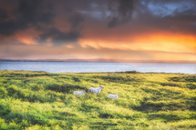 horned sheep by a shore at sunset