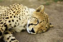 sleeping cheeta