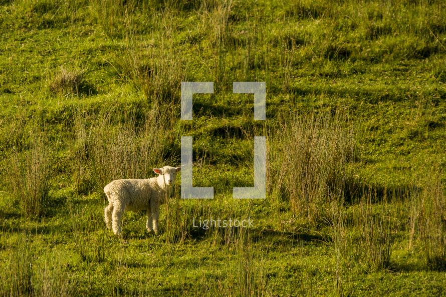 lamb in a pasture