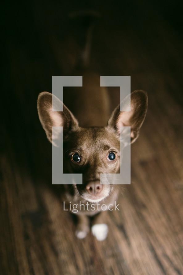 small brown dog looking up at a camera
