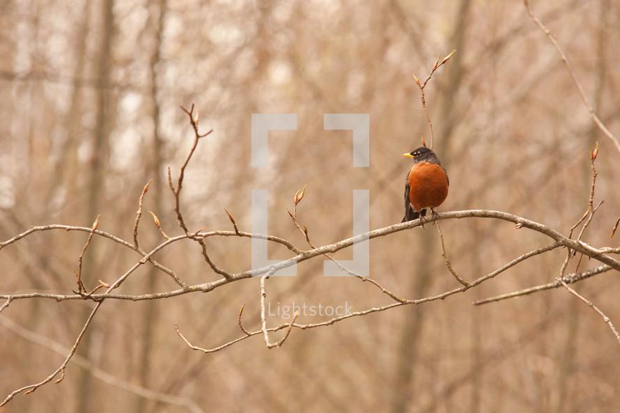 Robin bird on tree branch