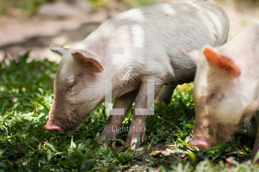A couple of pigs eating some grass