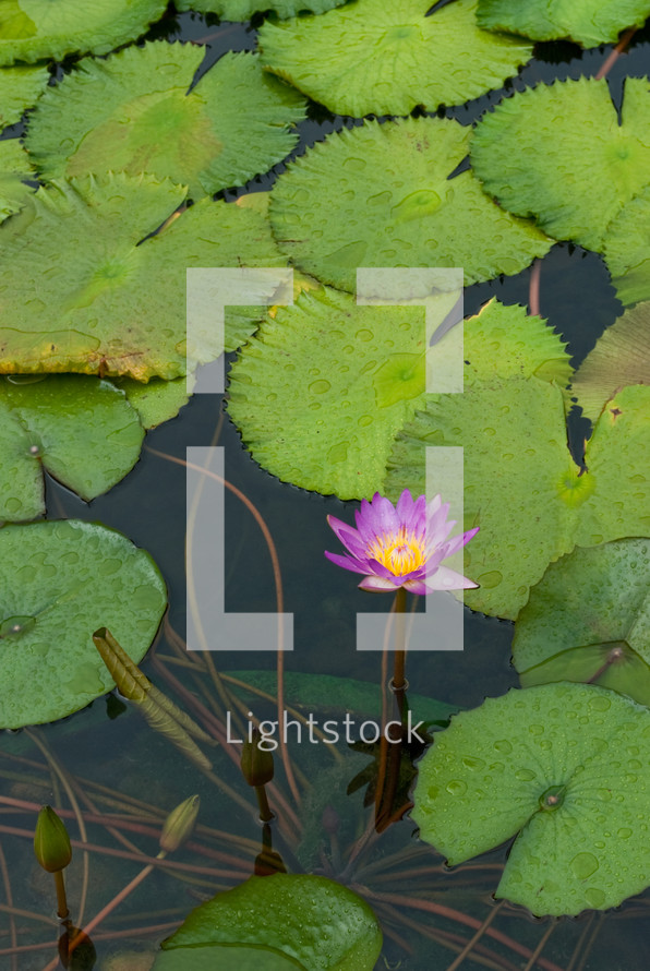 Lily pads in the water