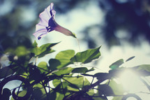sunlight on a morning glory flower