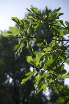 figs leaves on a tree