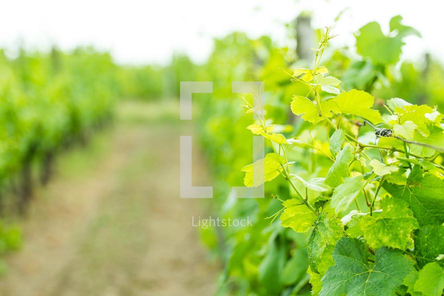 Rows in a vineyard.