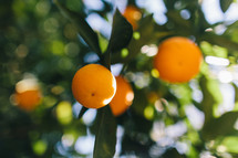 oranges on a citrus tree