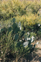 desert plants and prickly pear cactus