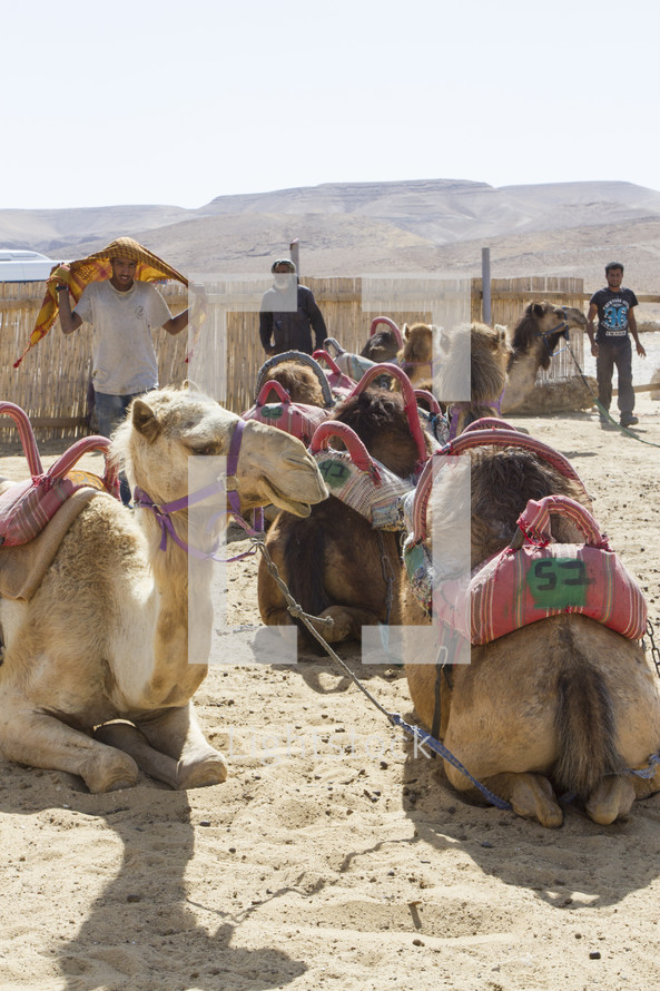 resting camels in a market