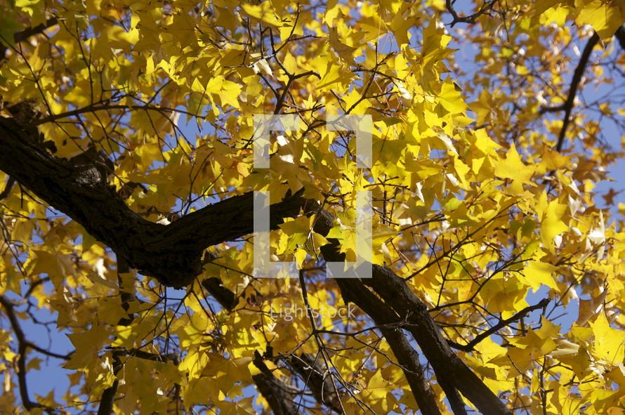 Fall leaves in tree. Autumn, season, yellow.