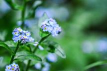 tiny blue flowers