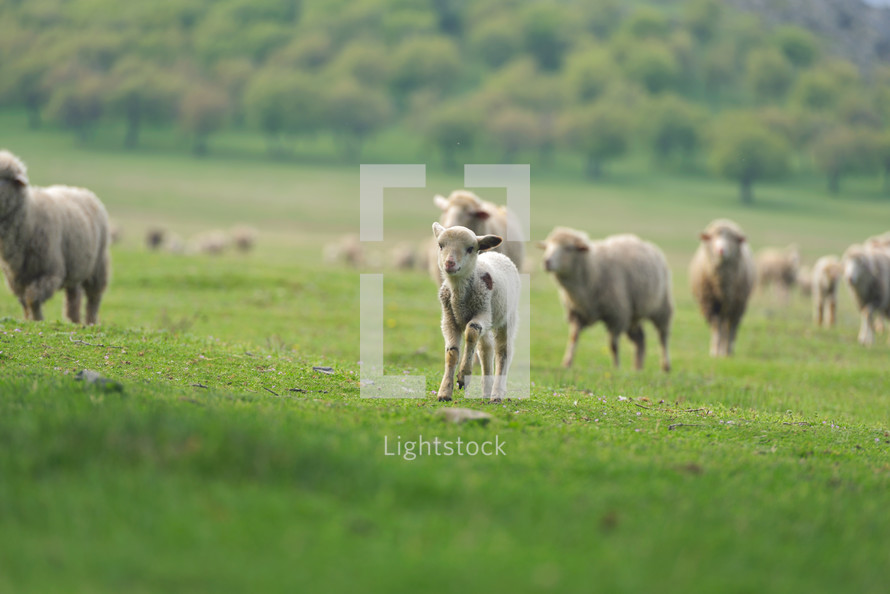sheep and lambs in a pasture