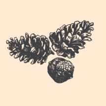 pinecones and acorn