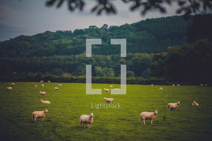 Herd of sheep grazing in a field with tree-covered mountains in the background.