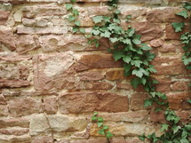 ivy on a stone wall