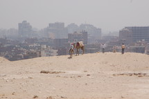 camels in a desert in Egypt and city in the background