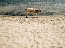 Cow walking on a beach