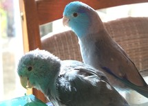 Two Pacific Blue Parrotlets play together on a sunny afternoon with the sun reflecting light in their feathers as they celebrate the coming of Spring, Easter and warm weather.