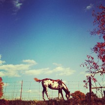 Spotted horse grazing