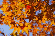 fall leaves on sweet gum tree. Autumn, fall, season, harvest, orange, red.