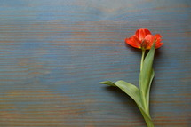 single red tulip on a cyan wooden table