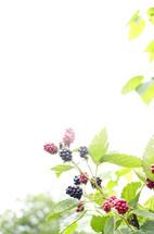 Berries on the vine.