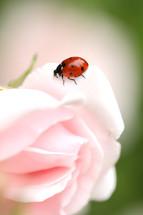 ladybug on a rose