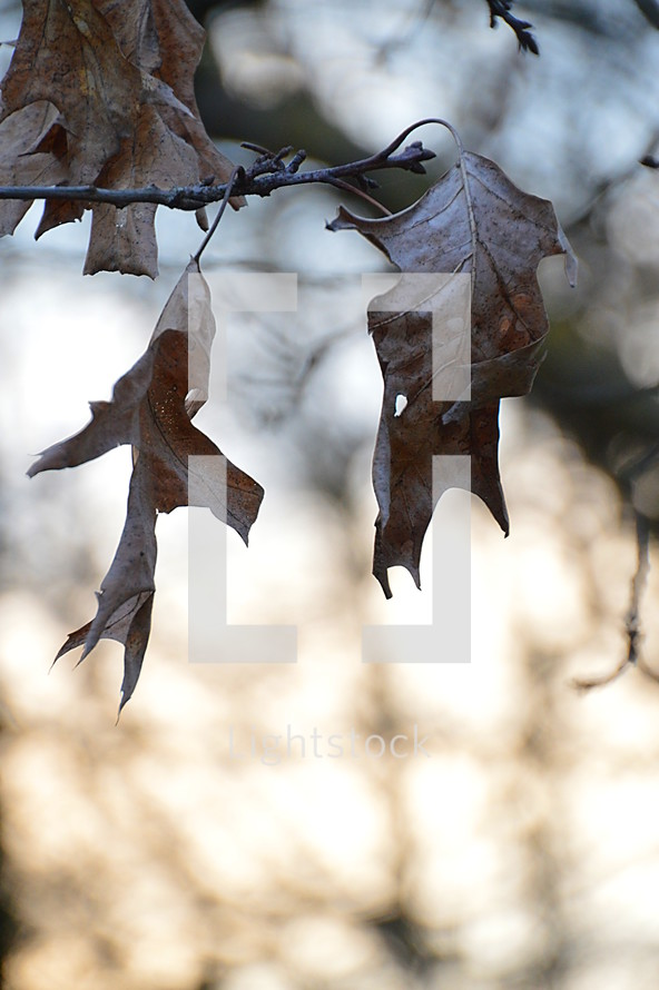 brown dry fall leaves on a branch