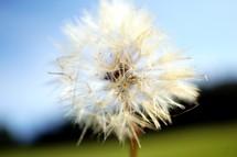 A dandelion puff.