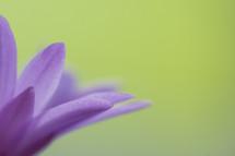 petals of a purple flower