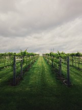 Rows of grapes in a green vineyard.