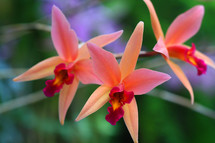 peach and pink orchids