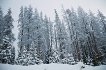 snow covered trees in a forest