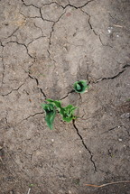 sprouts in cracked soil