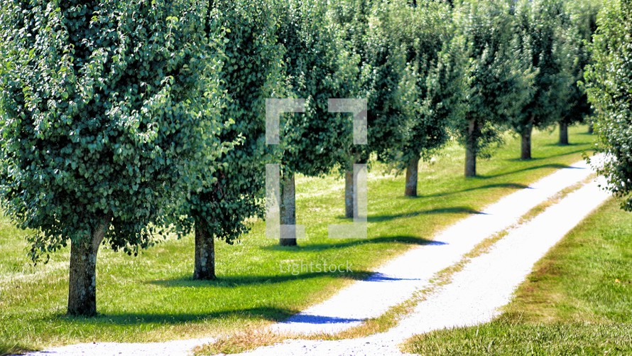 row of trees lining a dirt road