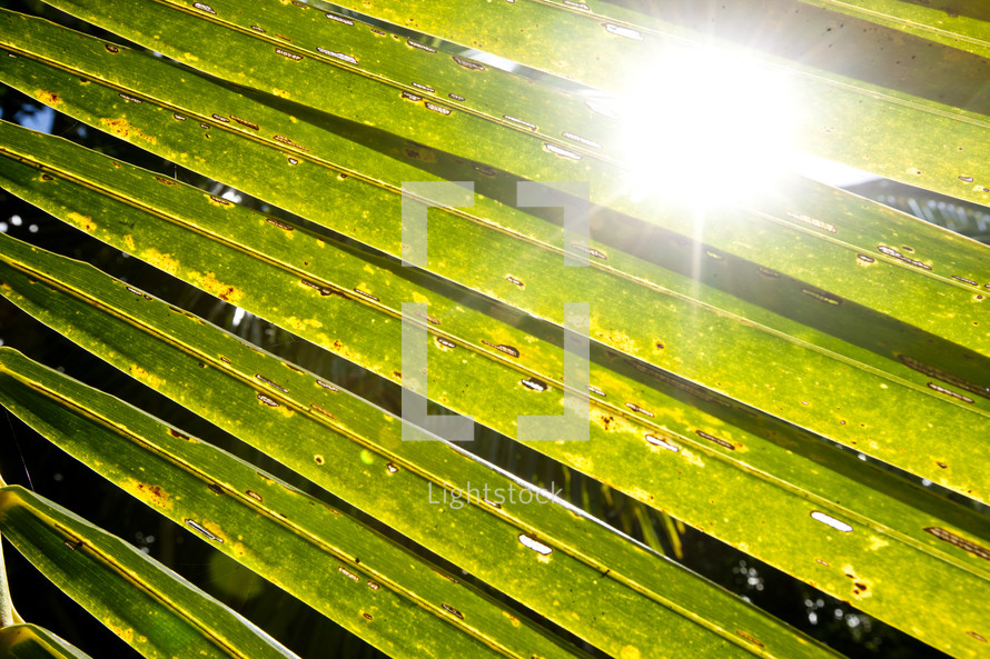 The sun shining through close up palm fronds