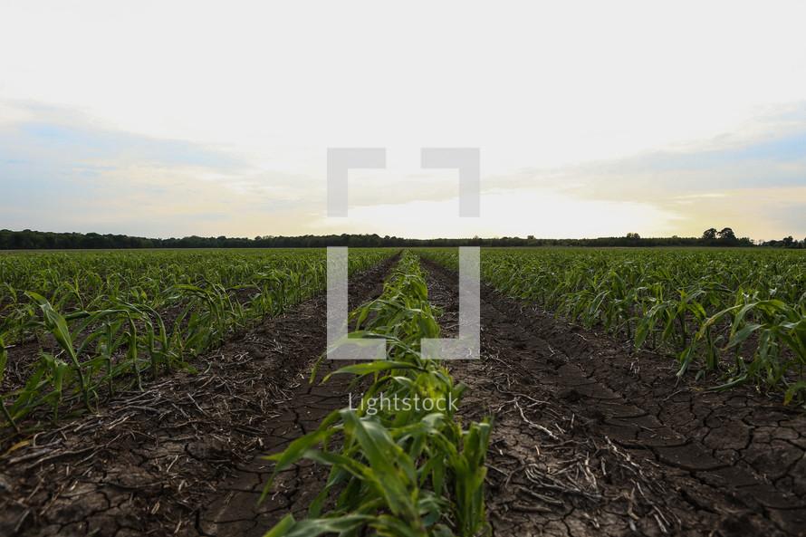 rows of corn growing in a field