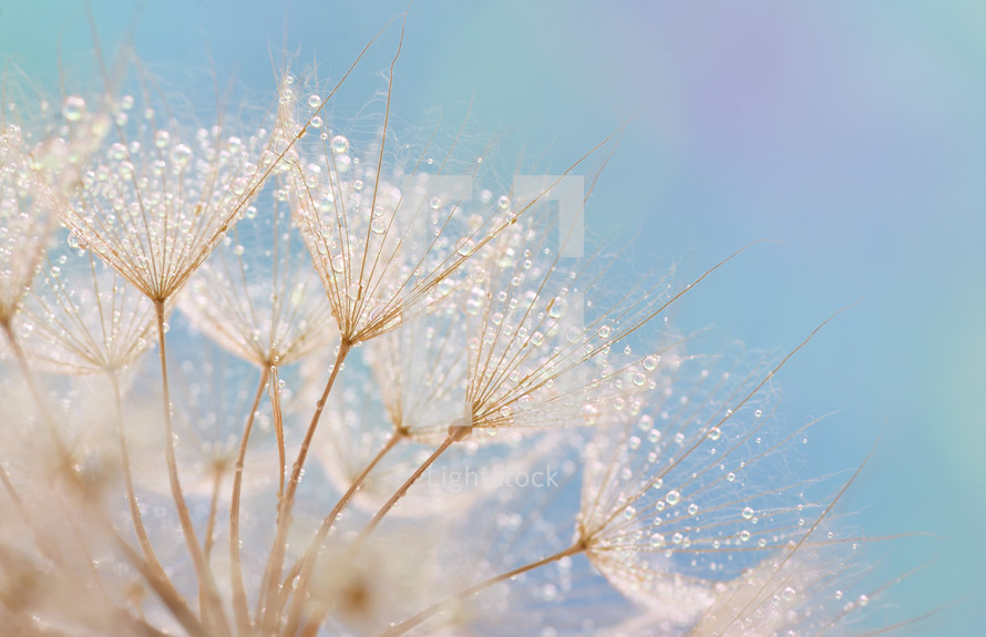 Dandelion seeds - fluffy blowball and soft nature background