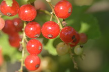 redcurrants in the bush,  currants, redcurrants, harvest, ripe, fruit, garden, bush, shrub, crop, harvesting, blessing, provided, providing, provide, creation, food, nature, plant, fruits, nourishment, gardening, sweet, delicious, tasty, yummy, healthy, nature, natural, grow, growing, red, color, colour, colorful, earth, green, thanksgiving, Thanksgiving, harvest festival