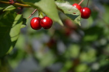 cherries in the cherry tree,  cherry, cherries, harvest, ripe, fruit, garden, tree, trees, crop, harvesting, blessing, provided, providing, provide, creation, food, nature, plant, fruits, nourishment, gardening, sweet, delicious, tasty, yummy, healthy, nature, natural, grow, growing, red, color, colour, colorful, earth, green, thanksgiving, Thanksgiving, harvest festival