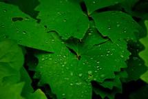 wet ivy